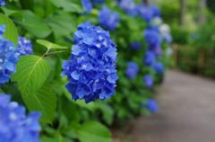 三室戸寺の紫陽花・青