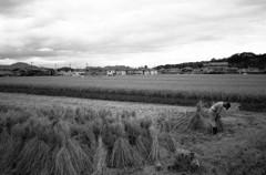 斑鳩の里・稲刈り