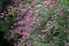 西方寺【萩の花】②20201001