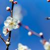 府中市郷土の森【梅の花:野梅】③20200211