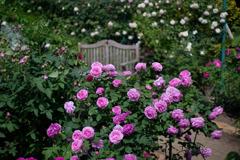 花菜ガーデン【バラ:ルイーズ・オデェエ】20180506
