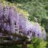 町田ぼたん園【藤の花】①20210424