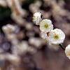 大船フラワーセンター【梅の花:八重茶青】20200215
