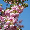 花菜ガーデン【里桜:紅華】20210411
