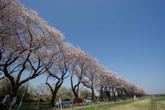 【海軍道路の桜並木】④20180331