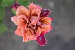 花菜ガーデン【バラ:茶々】20180506