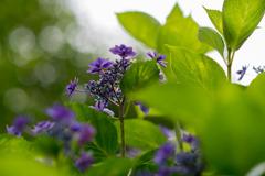 相模原北公園【紫陽花:ブルー・スカイ】②20200616