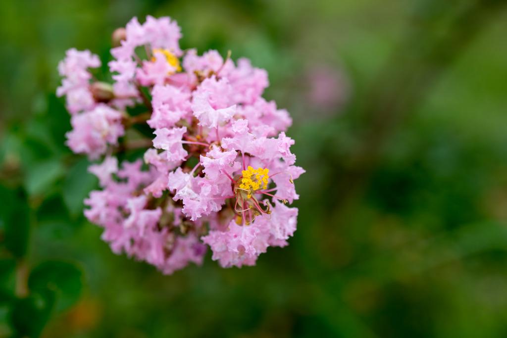 花菜ガーデン【サルスベリ(ピンク系)】②20200913