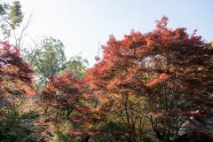 薬師池公園【旧荻野家周辺の紅葉】③20201115