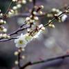 大船フラワーセンター【梅の花:玉英】20200215