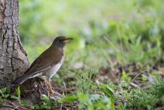 座間谷戸山公園【野鳥:シロハラ】20180414