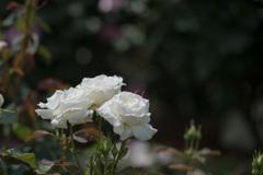 谷津バラ園【春バラ:ヨハネパウロ2世】20210515