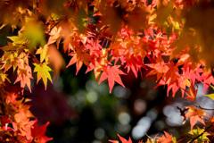 京都紅葉狩り【下鴨神社:紅葉】②20201123