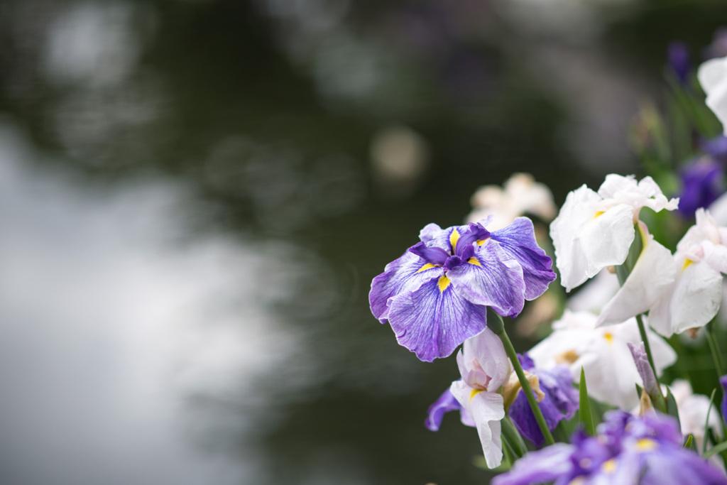 小田原FG【花菖蒲(紫縞系)】②20210605