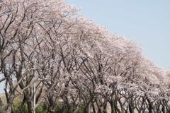 【海軍道路の桜並木】③20180331