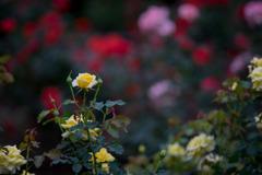 神代植物公園【秋バラ:ゴールド・バニー】①20181014