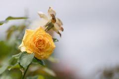 花菜ガーデン【夏バラ(ゴールド・メダル)】20200712