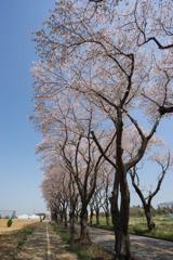 【海軍道路の桜並木】⑥20180331