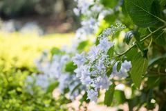 薬師池公園【紫陽花:スミダノハナビ】①20180609