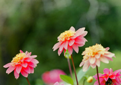 神代植物公園【ダリア:作品16-418】20191020