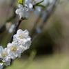 早春の神代植物公園【ハナモモ:寒白】⑤20200315