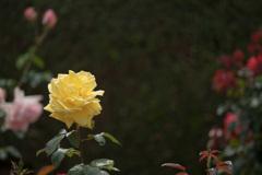 谷津バラ園【春バラ:ラディアント・パフューム】20210515