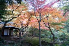 【旧古河庭園の紅葉】③20181201
