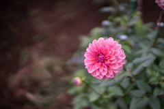 神代植物公園【ダリア:アプリコット・ローザ】20191020