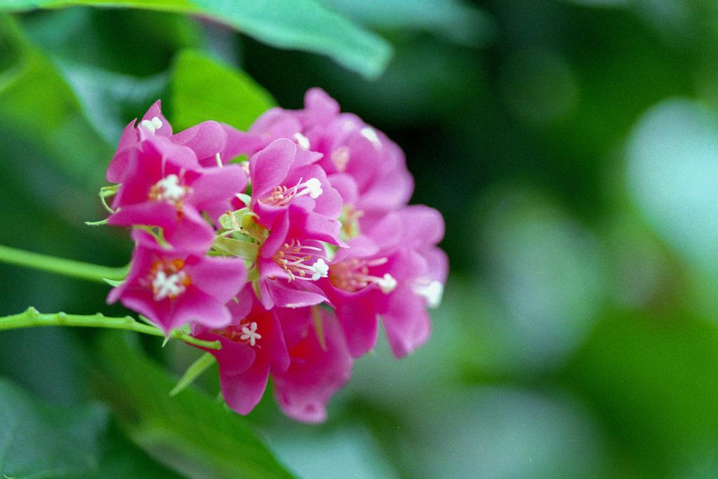 神代植物公園【ブーゲンビリア】②20200112
