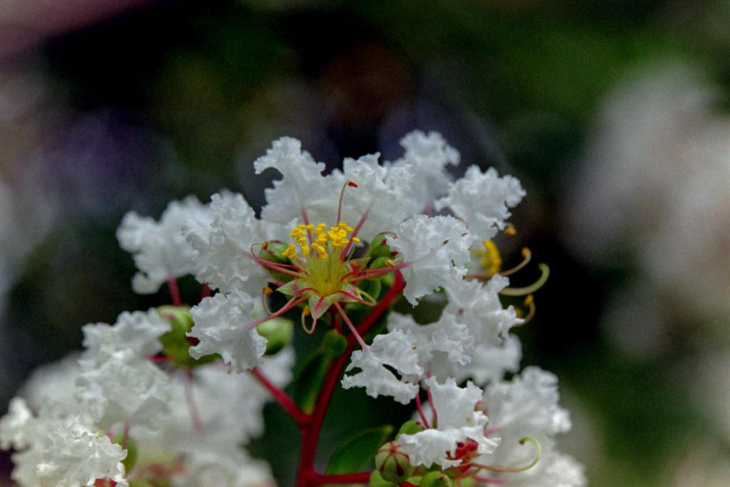 花菜ガーデン【サルスベリ(白系)】②20200913