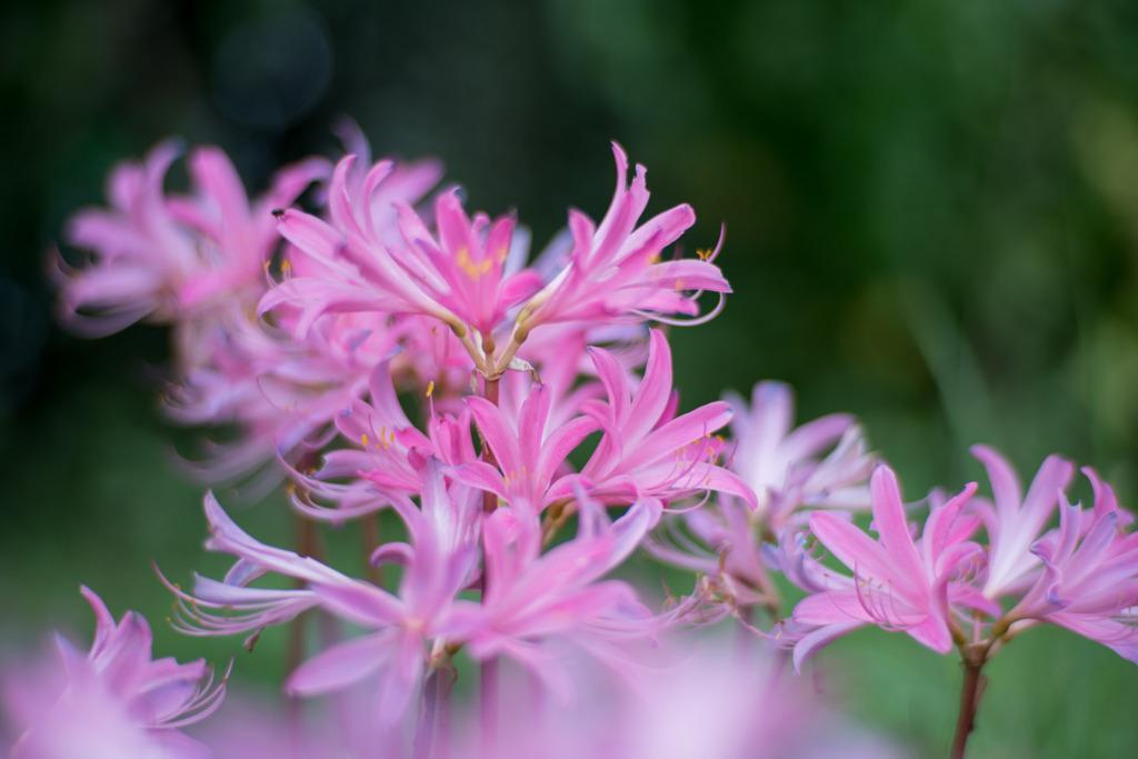 花菜ガーデン【リコリス(ピンク系)】①20200913