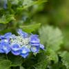 神代植物公園【紫陽花:渥美絞り】20210606