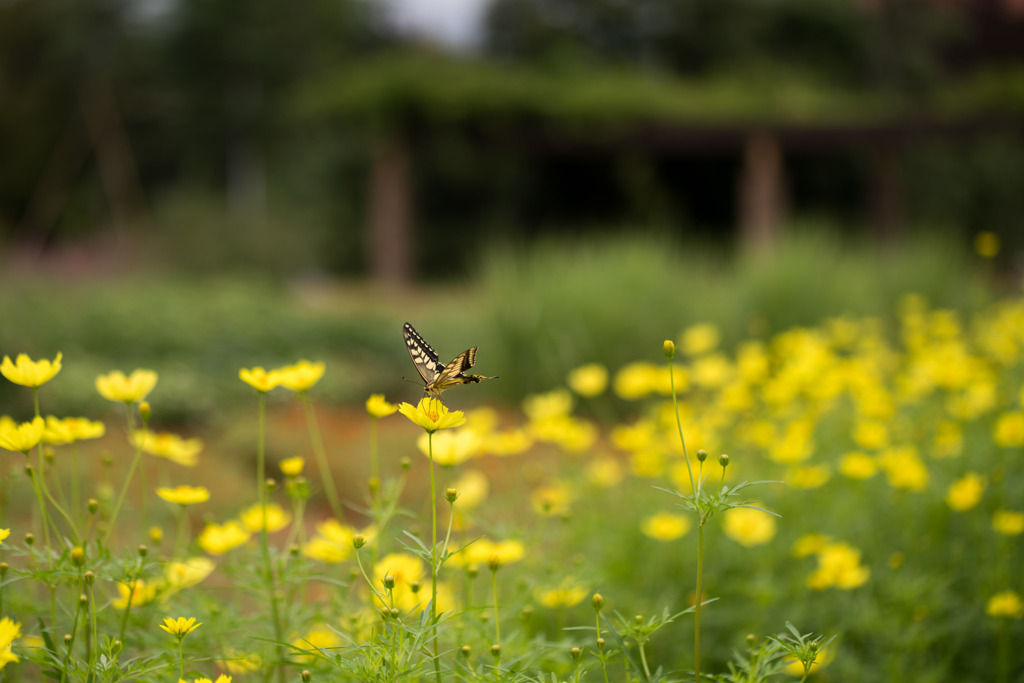 花菜ガーデン【キバナコスモス】20200913