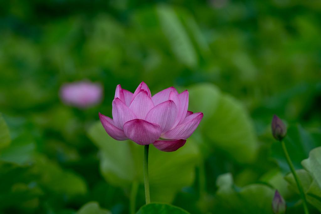 小山田神社【大賀蓮】②20200711