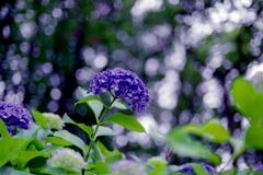 28薬師池公園【渦アジサイ】②20200627