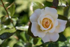 花菜ガーデン【バラ:レモン&ジンジャー】20180506