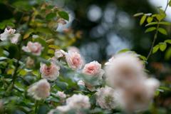 花菜ガーデン【夏バラ(ウィズレー2008)】20200712