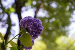 薬師池公園【紫陽花:青系アジサイ】②20180609