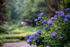 薬師池公園【青色系のアジサイ】①20200627