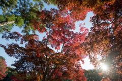 薬師池公園【菖蒲田右側の紅葉】④20201115