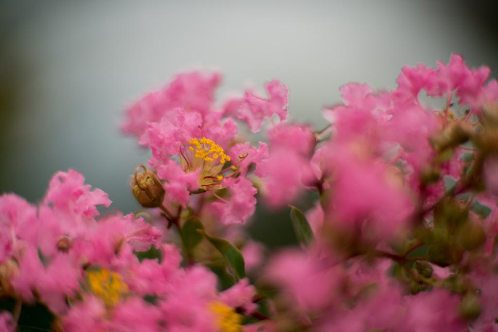 花菜ガーデン【サルスベリ(ピンク系)】①20200913