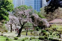 小石川後楽園【大堰川横の枝垂れ桜】20200320