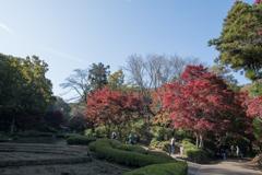 薬師池公園【菖蒲田右側の紅葉】①20201115