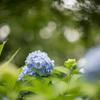 生田緑地【紫陽花】②20210620