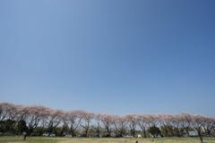 【海軍道路の桜並木】②20180331