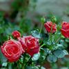 花菜ガーデン【夏バラ(チョコレート・サンデー)】20200712