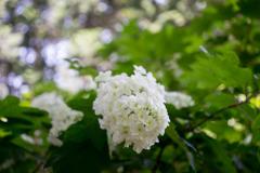 薬師池公園【紫陽花:白系アジサイ】①20180609