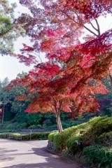薬師池公園【菖蒲田右側の紅葉】②20201115銀塩