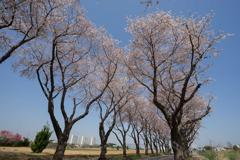 【海軍道路の桜並木】⑦20180331