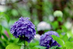 相模原北公園【紫陽花:西洋アジサイ】②20200616
